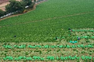 최저 찍은 지난해 가을배추 재배면적…올해 '금값' 배추에 반등