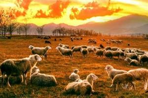 북한 세포지구서 풀 뜯는 양과 염소