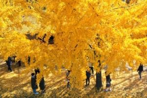 '깊어가는 가을' 노랗게 물든 은행나무