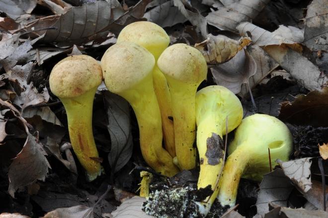 독버섯으로 알려진 '갓그물버섯'에서 뼈세포 형성 촉진 및 지방세포 생성을 억제하는 유용물질이 국내 연구진에 의해 확인됐다. 국립산림과학원 제공