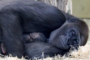 베를린 동물원서 16년만에 아기고릴라 탄생