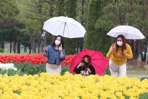 봄비 머금은 튤립… 오늘도 빗물에 '흠뻑'