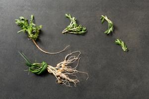 달래 캔 줄 알았는데 독초…봄나물 제대로 먹으려면?