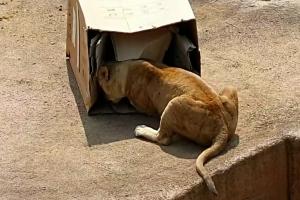서울대공원이 사자에게 폐상자를 선물한 이유