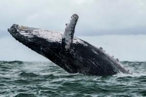 혹등고래가 미국 어부 입으로 빨아들였다가 30~40초 뒤 뱉어내
