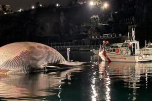 70t 고래 사체는 어떻게 떠내려 왔을까