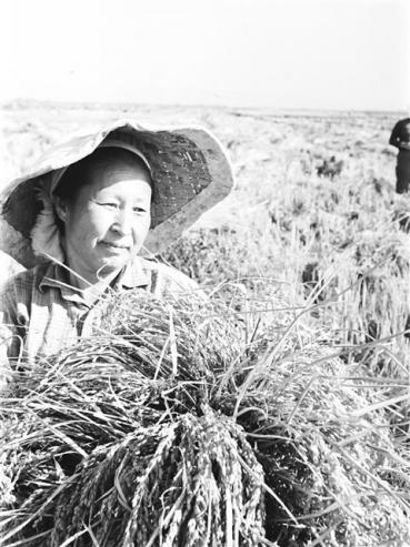 우즈베키스탄·카자흐스탄에 이주한 고려인들은 집단농장(콜호스)에서의 농협활동 등을 통해 낯선 땅에서 삶의 터전을 일구었다. 칼리닌 집단 농장에서 볏짚을 가득 안고 수확의 기쁨을 누리고 있는 고려인. 연합뉴스