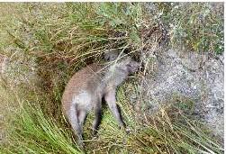 환경부는 지난 2일 경기도 연천군 내 비무장지대(DMZ)에서 발견된 야생멧돼지 폐사체에서 아프리카돼지열병(ASF) 바이러스가 검출됐다고 3일 밝혔다. 사진은 바이러스가 검출된 멧돼지. 환경부 제공