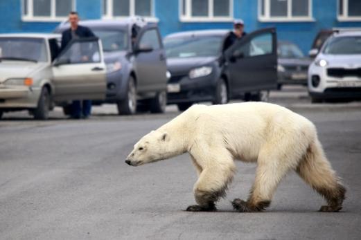 기후변화에 관한 정부 간 협의체(IPCC)가 새해를 '2050년 기후 대재앙'을 막을 수 있는 마지막 시기로 분석한 가운데 지구온난화로 인한 재앙의 전조로 평가되는 현상들이 지구 곳곳에서 나타났다. 굶주린 북극곰이 지난 6월 먹이가 부족한 서식지에서 수백㎞ 떨어진 러시아 산업도시 노릴스크까지 내려와 거리를 헤매고 있다. 노릴스크 AFP 연합뉴스