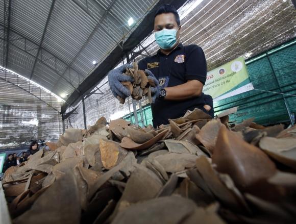 2017년 멸종위기종인 천산갑 비늘이 태국에서 대규모로 적발된 모습. AP 연합뉴스 자료사진
