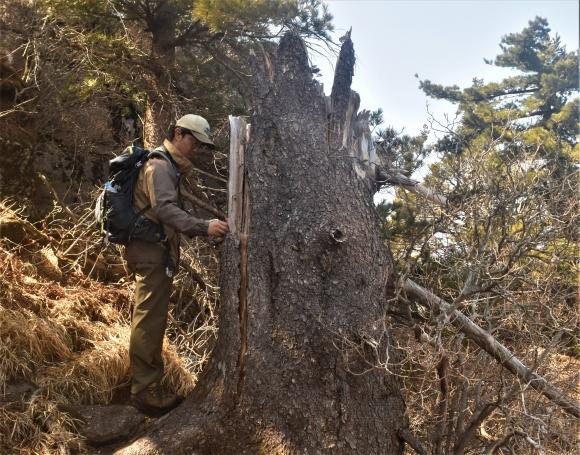 기후변화 영향으로 지리산의 가문비나무 집단 고사가 발생하고 있다. 지난달 녹색연합이 지리산 중봉에서 남한에서 가장 오래된 가문비나무 고사목을 측정하고 있다. 녹색연합 제공