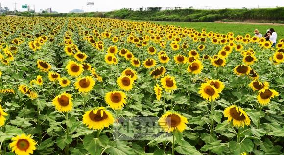 김제 죽산면 일대에 펼쳐진 해바라기밭. 수확을 목적으로 심은 해바라기여서 관상용으로 심은 해바라기에 비해 꽃의 크기가 훨씬 크다. 아리랑문학마을이 지척이어서 함께 둘러보면 좋다.