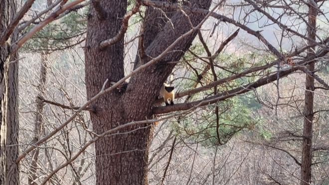 광릉숲에서 멸종위기종(2급) 담비의 서식이 처음으로 확인됐다. 최상위 포식자인 담비는 산림이 울창한 곳에서 서식해 산림생태계의 건강성을 판단할 수 있는 지표종이기도 하다. 국립수목원 제공